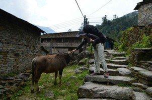 Водяной буйвол.  Базовый лагерь Аннапурны + сафари Читвана. Непал, Hikeup