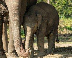 Слоненок в Читване.  Базовый лагерь Аннапурны + сафари Читвана. Непал, Hikeup