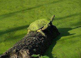 Черепаха в Читване.  Базовый лагерь Аннапурны + сафари Читвана. Непал, Hikeup