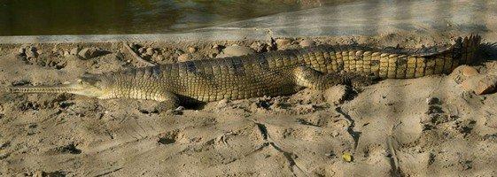 Крокодил в Читване.  Базовый лагерь Аннапурны + сафари Читвана. Непал, Hikeup