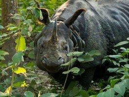 Носорог в Читване.  Базовый лагерь Аннапурны + сафари Читвана. Непал, Hikeup