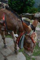 Непальский мул.  Світанок біля підніжжя Аннапурни. Непал, Hikeup