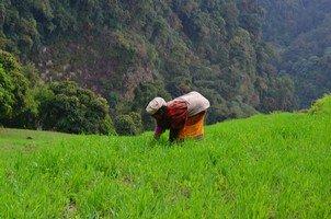 Прополка риса.  Світанок біля підніжжя Аннапурни. Непал, Hikeup
