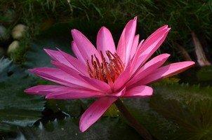 Розовый лотос.  Вокруг Аннапурны. Непал - Перевал Торонг-Ла, Hikeup