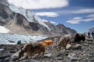 Караван яков.  Базовый лагерь Эвереста и озера Гокио, Hikeup