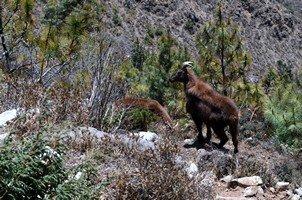 Гималайская горная козлина.  Чарующий и таинственный Непал. Далеко и ещё дальше., Hikeup