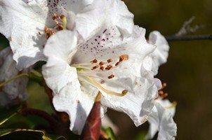 Белый рододендрон.  Чарующий и таинственный Непал. Далеко и ещё дальше., Hikeup