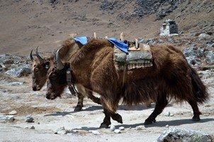 Яки.  Чарующий и таинственный Непал. Далеко и ещё дальше., Hikeup