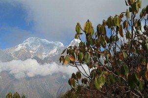 Рододендрон.  Тибетский Новый год и Марди Химал трек, Hikeup