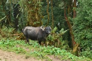 Водяной буйвол.  Марді Хімал трек та рафтинг по Білій воді. Непал, Hikeup