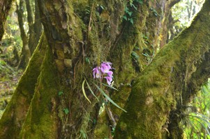 Орхидея.  Марді Хімал трек та рафтинг по Білій воді. Непал, Hikeup