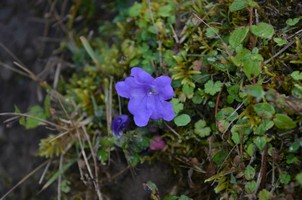 Цветок в джунглях.  Марди Химал трек и рафтинг по Белой воде, Hikeup