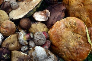 Вкусные съедобные грибы.  Сванский хребет и другие приключения. Грузия. Сванетия, Hikeup
