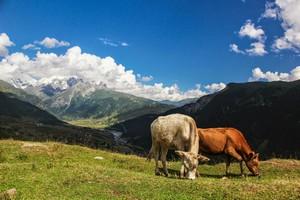 Коровы на перевале.  Трекинг в Сванетии, Грузия, Hikeup
